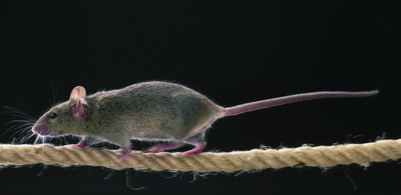 Ratten Legen Telefonanlage Lahm