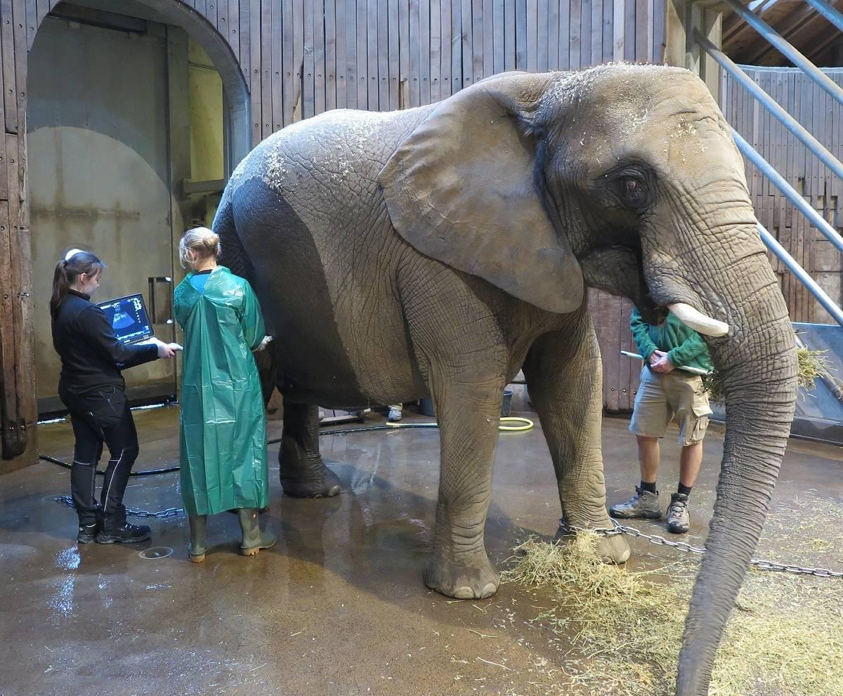 wie lange sind elefanten schwanger