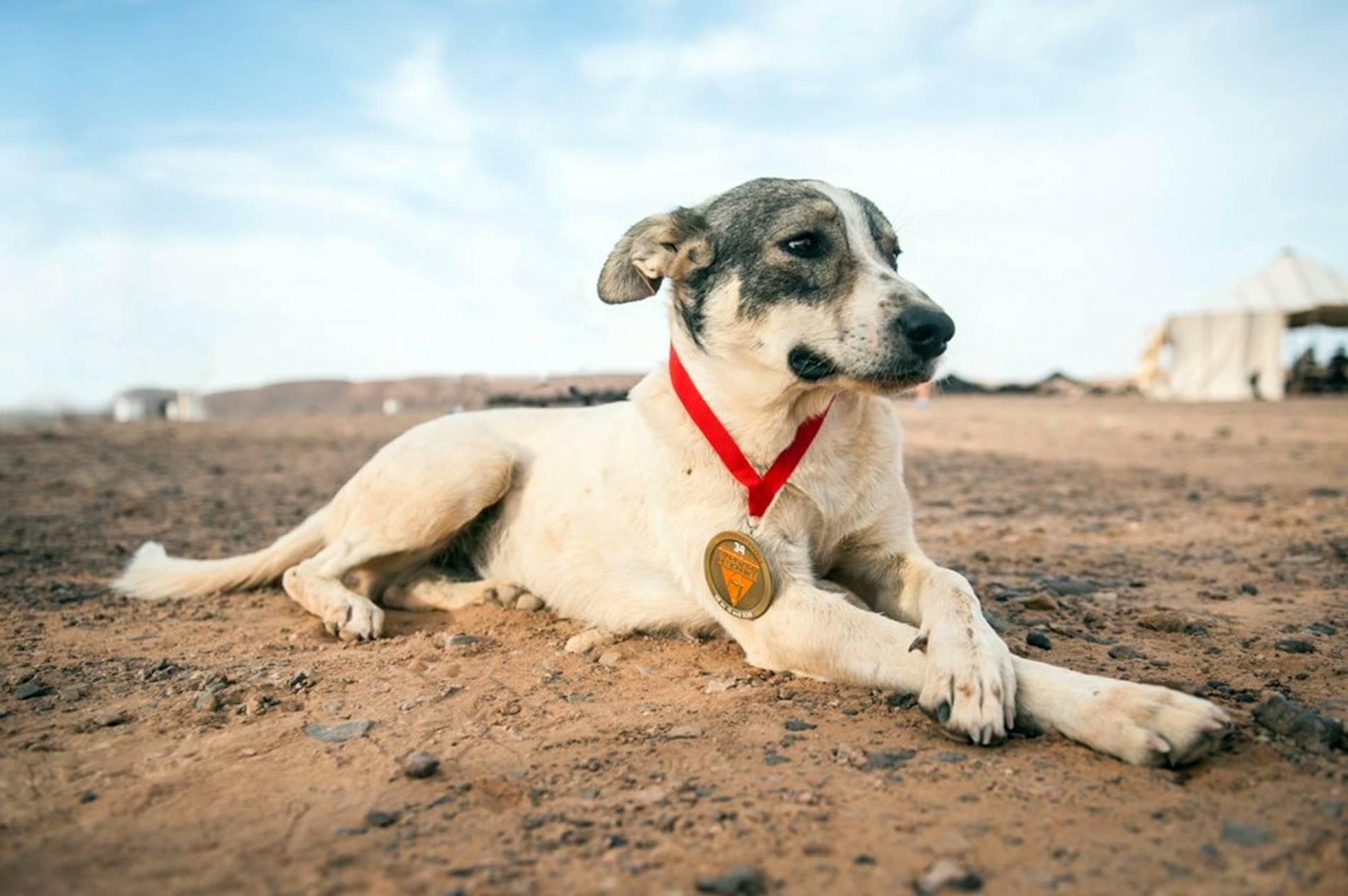 Marathon Des Sables Streunender Hund Begleitet Läufer Beim Sahara