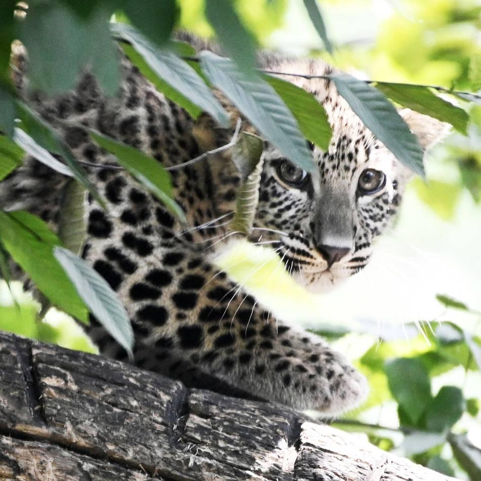 Keine Hauskätzchen: Kölner Jung-Leoparden in der Außenanlage