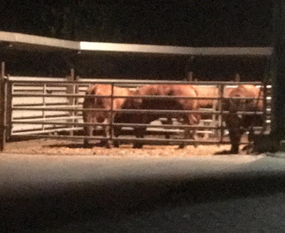 """WZ-Serie """"Kuh, Karotte und Co."""": Der letzte Gang der Bullen"""
