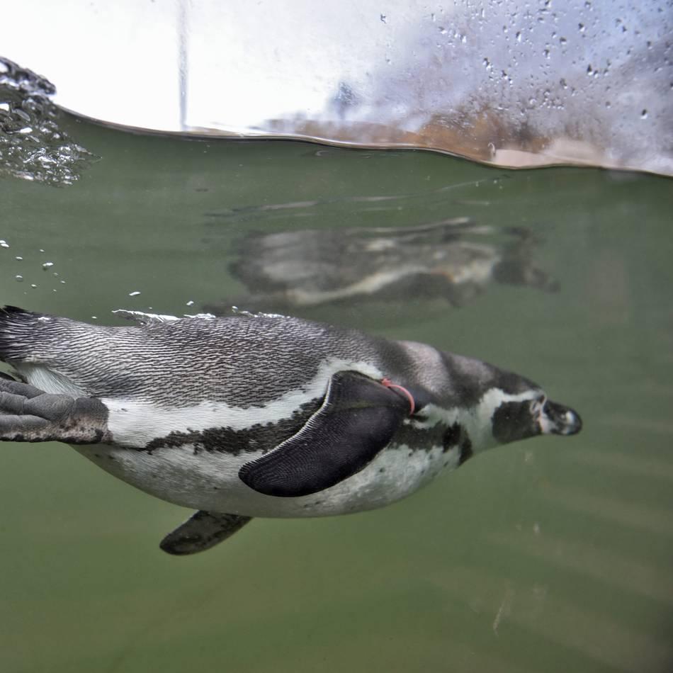 Zoo-Welt: Mistwetter für Krefelder Pinguine