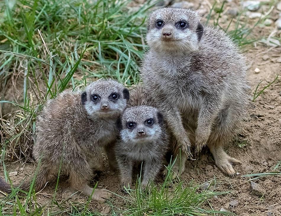 Zoo: KölnerZoo Drei Erdmännchen-Jungtiere erkunden ihre Anlage