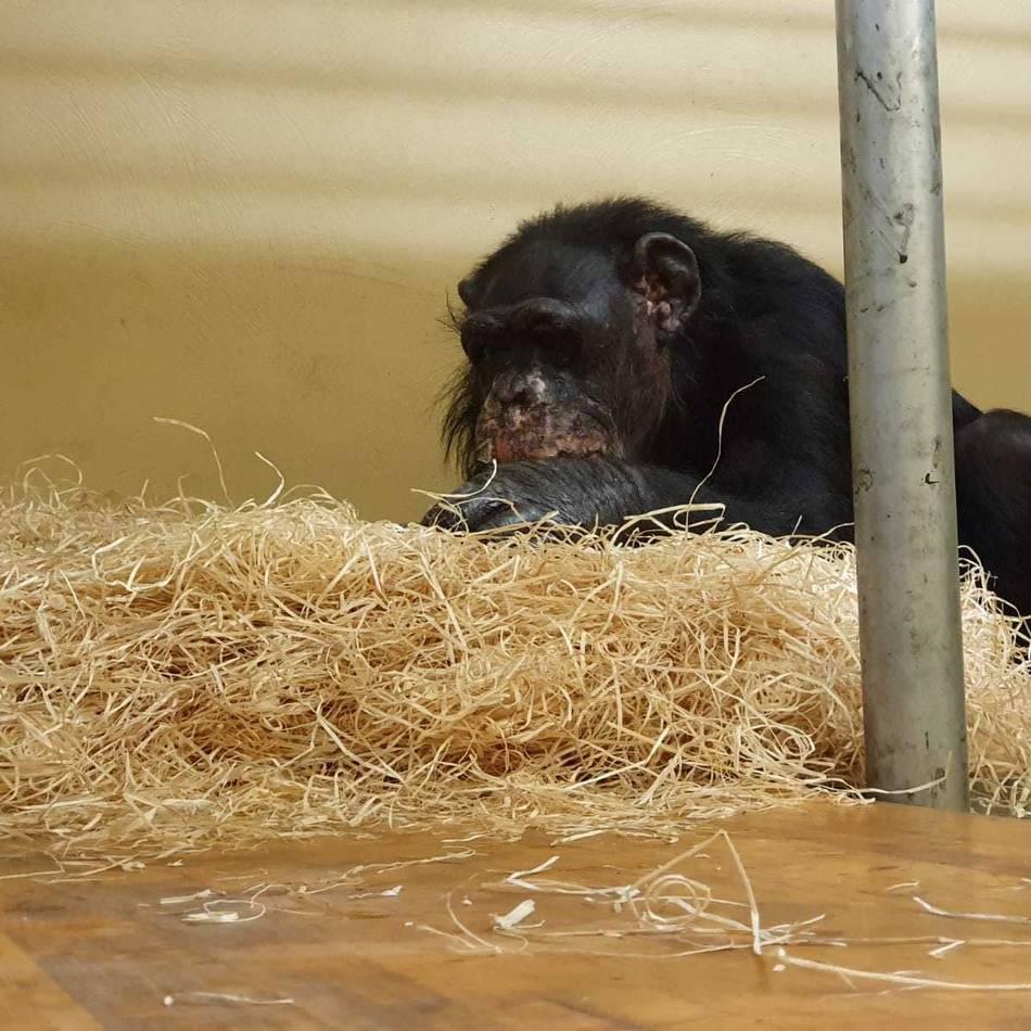 Pfleger berichten: Nach Brand im Krefelder Zoo: Schimpansen Bally und Limbo geht es immer besser