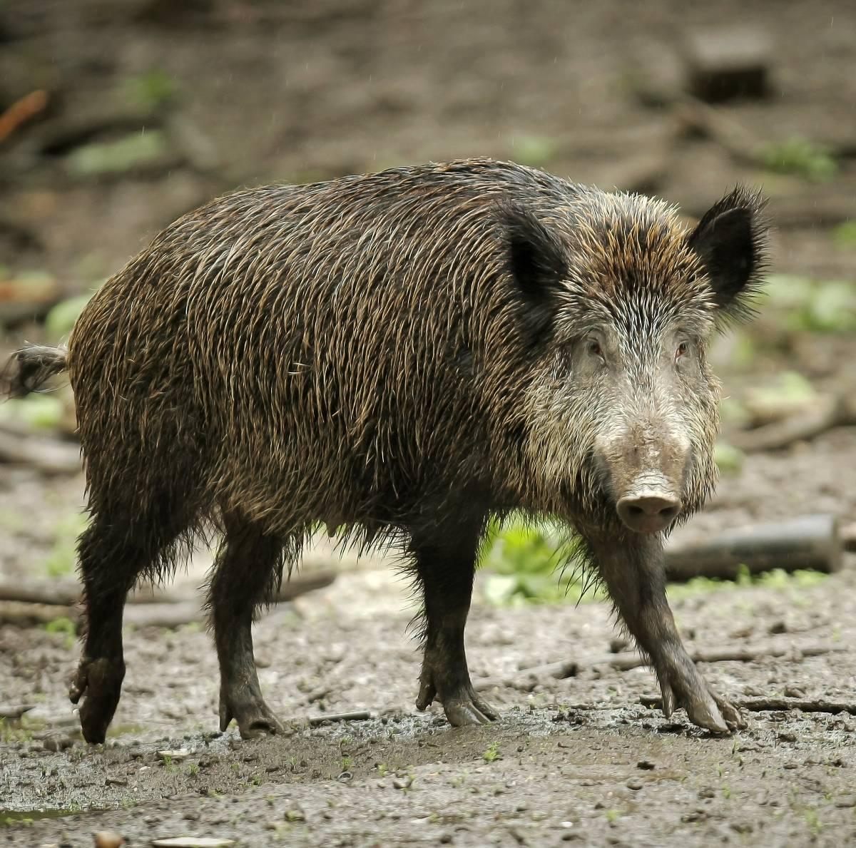 Wildschweine Gefahr
