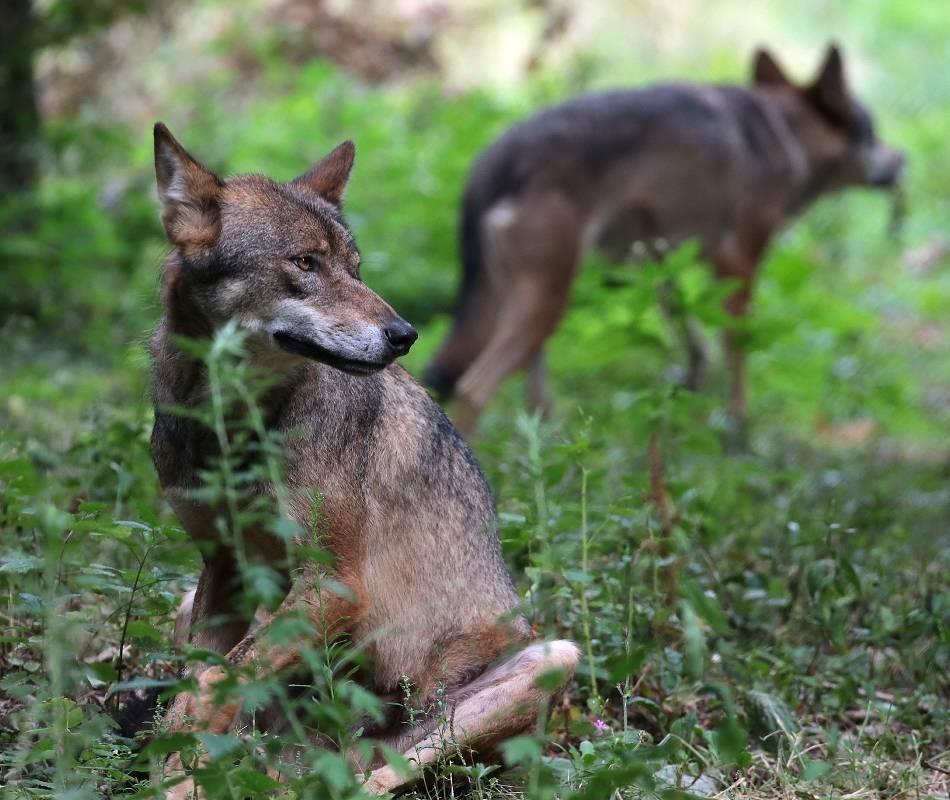 """Wölfe kommen wieder häufiger nach NRW – auf der Durchreise, aber zunehmend auch dauerhaft: Berechtigte Angst oder """"Rotkäppchen-Märchen""""?"""